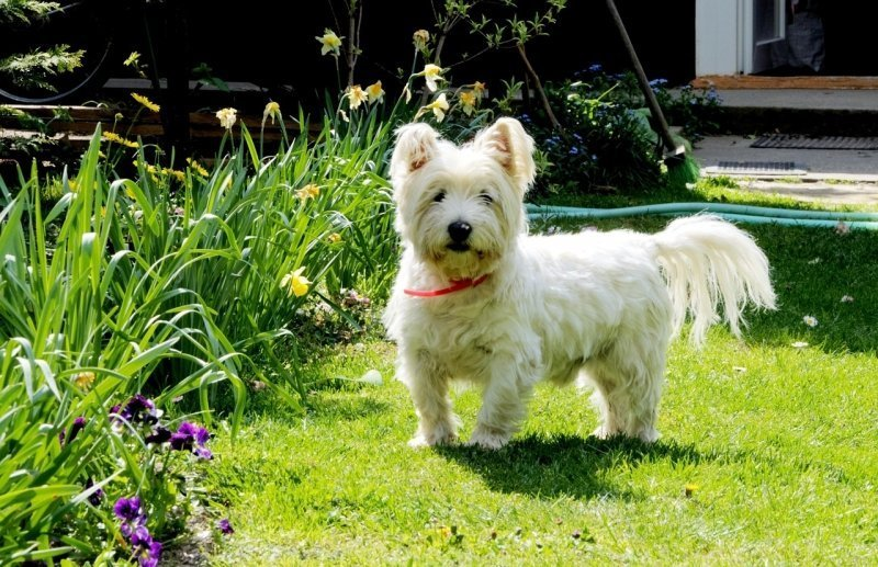 Westie In The Yard
